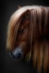 Retrato de pony shetland